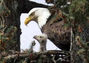 Eagle0422-586x0